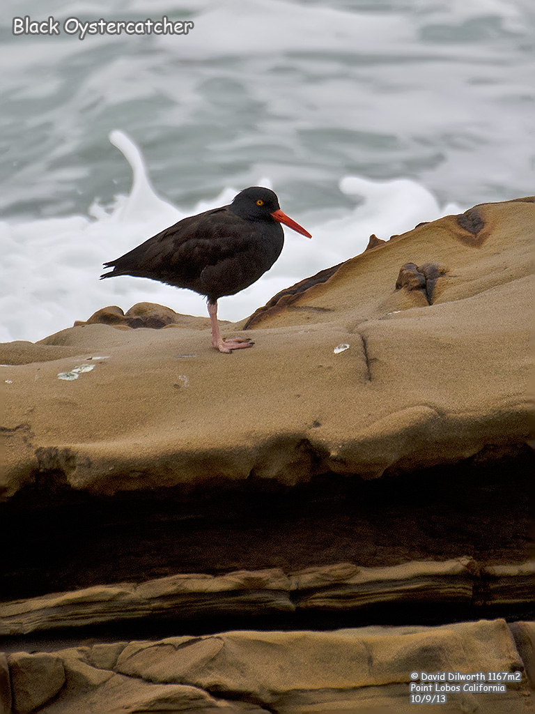 1167m2 Black Oystercatcher