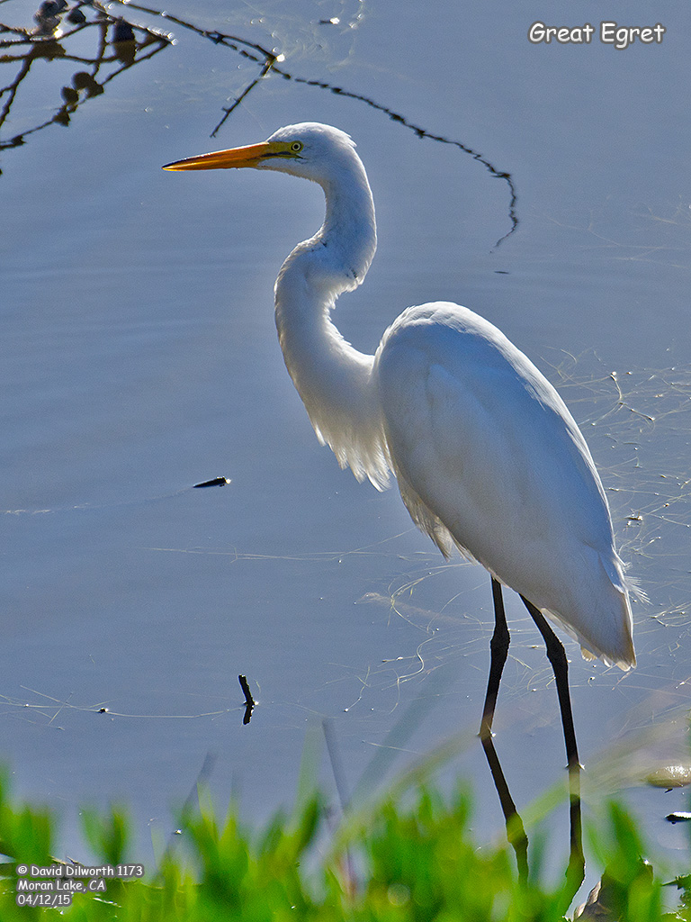 1173 Great Egret