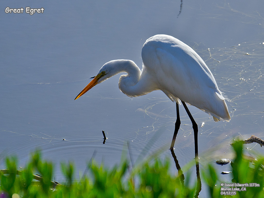 1173m Great Egret