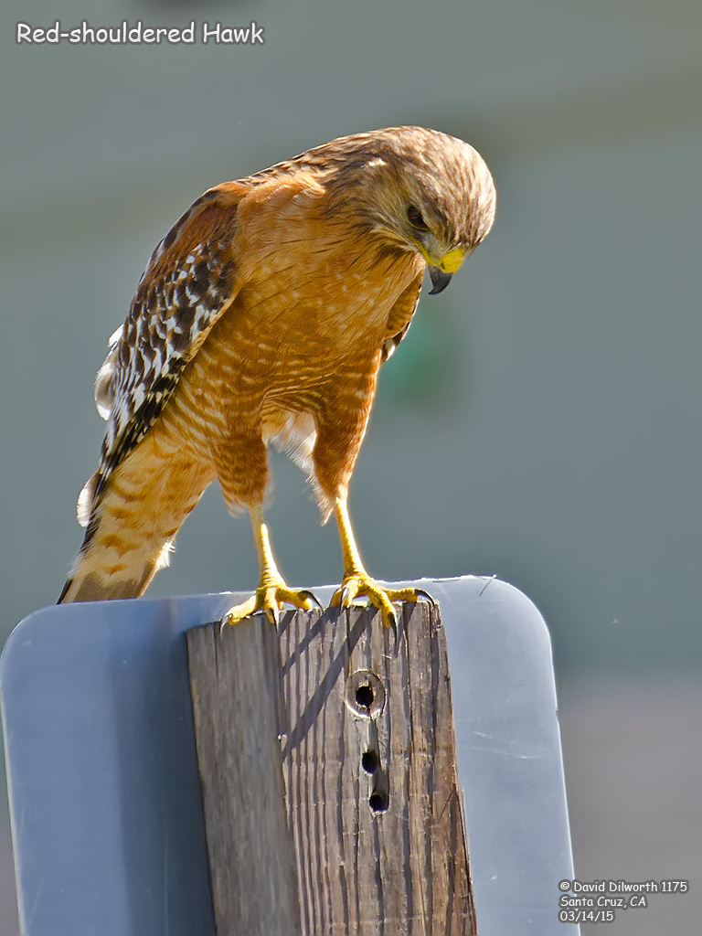 1175 Red-shouldered Hawk