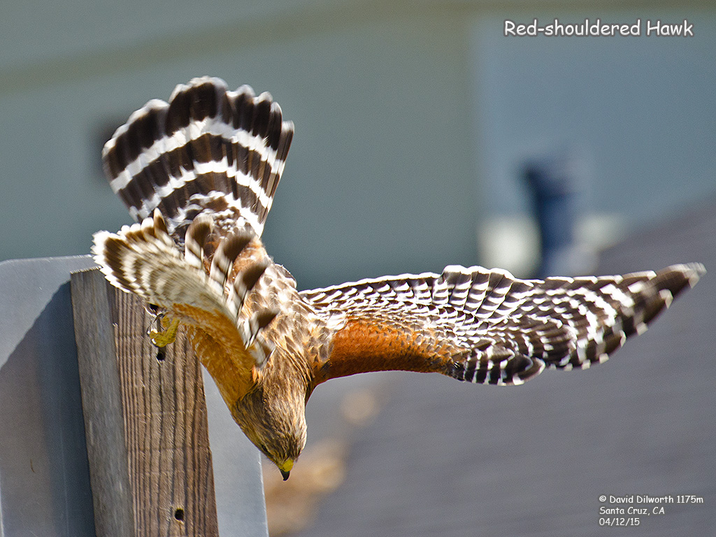 1175m Red-shouldered Hawk