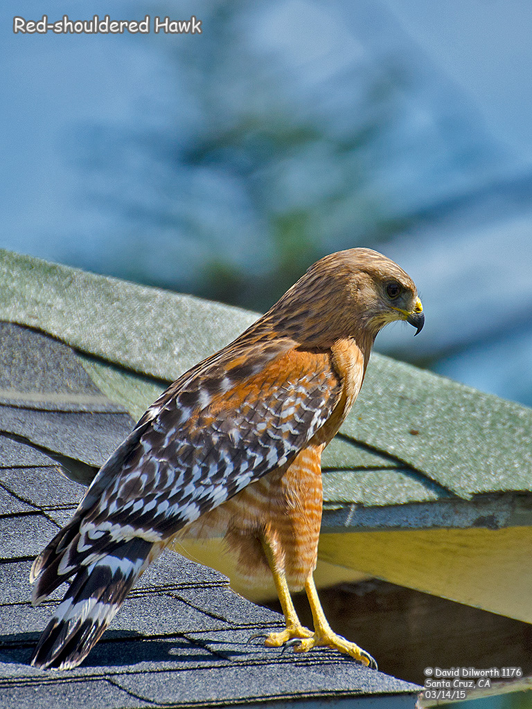 1176 Red-shouldered Hawk