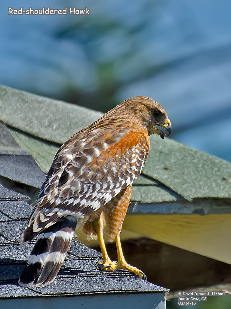 1176m1 Red-shouldered Hawk