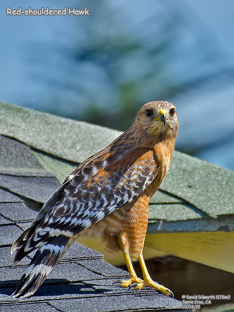 1176m2 Red-shouldered Hawk