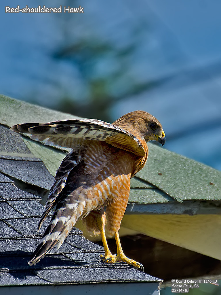 1176m3 Red-shouldered Hawk
