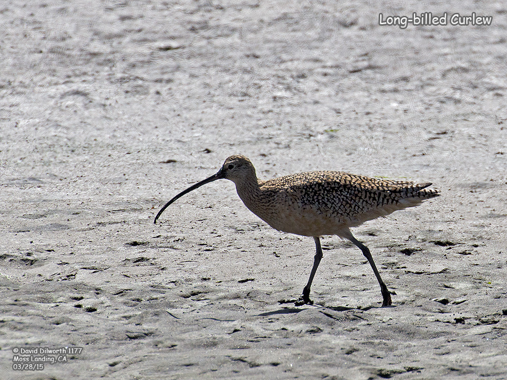 1177 Long-billed Curlew