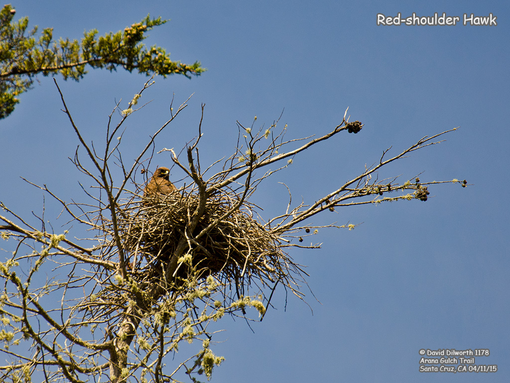 1178 Red-shouldered Hawk
