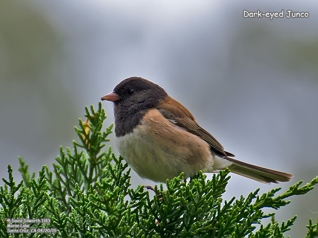 1183 Dark-eyed Junco
