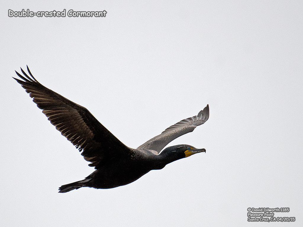 1185 Double-crested Cormorant
