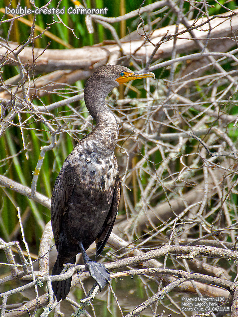 1188 Double-crested Cormorant