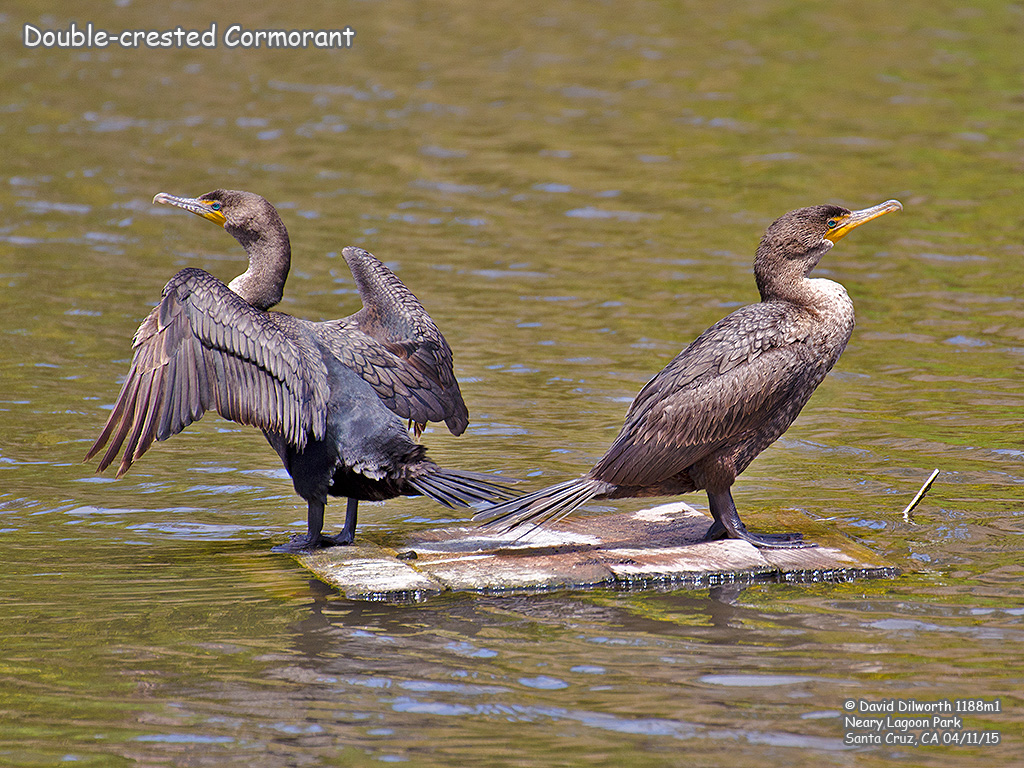 1188m1 Double-crested Cormorant