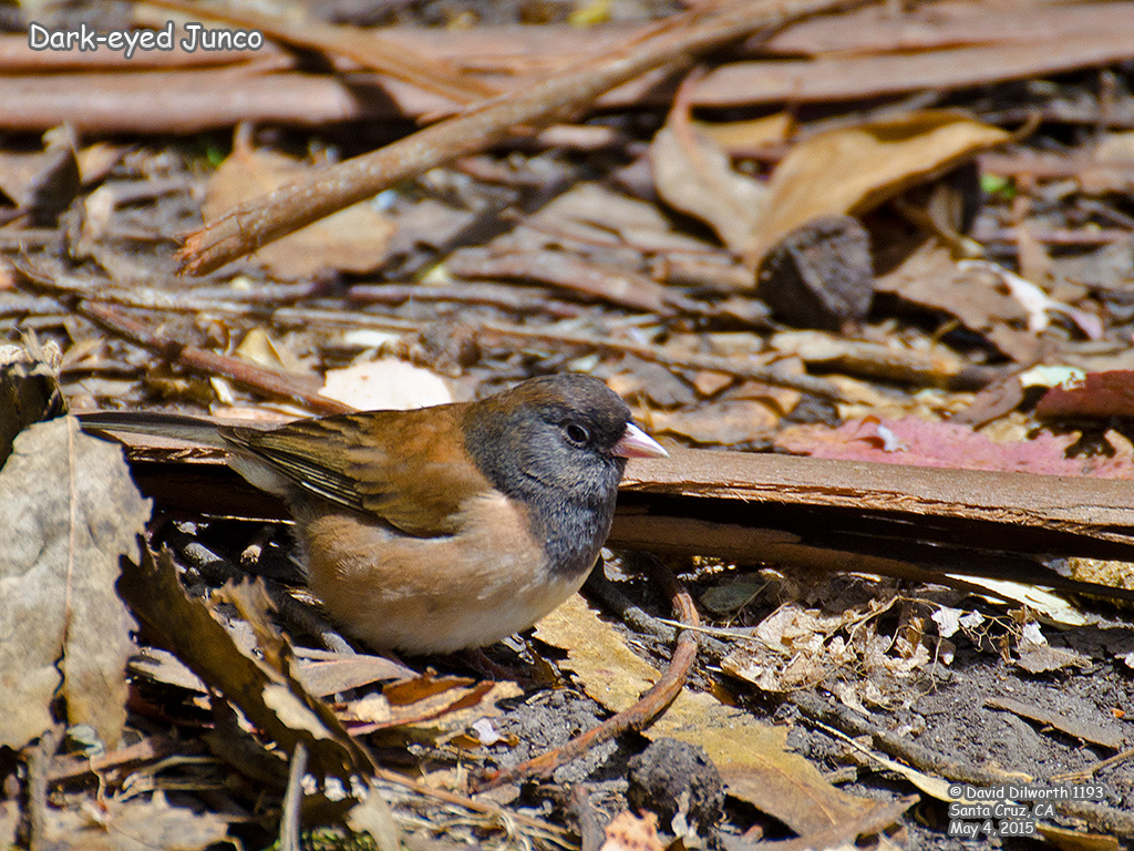 1193 Dark-eyed Junco