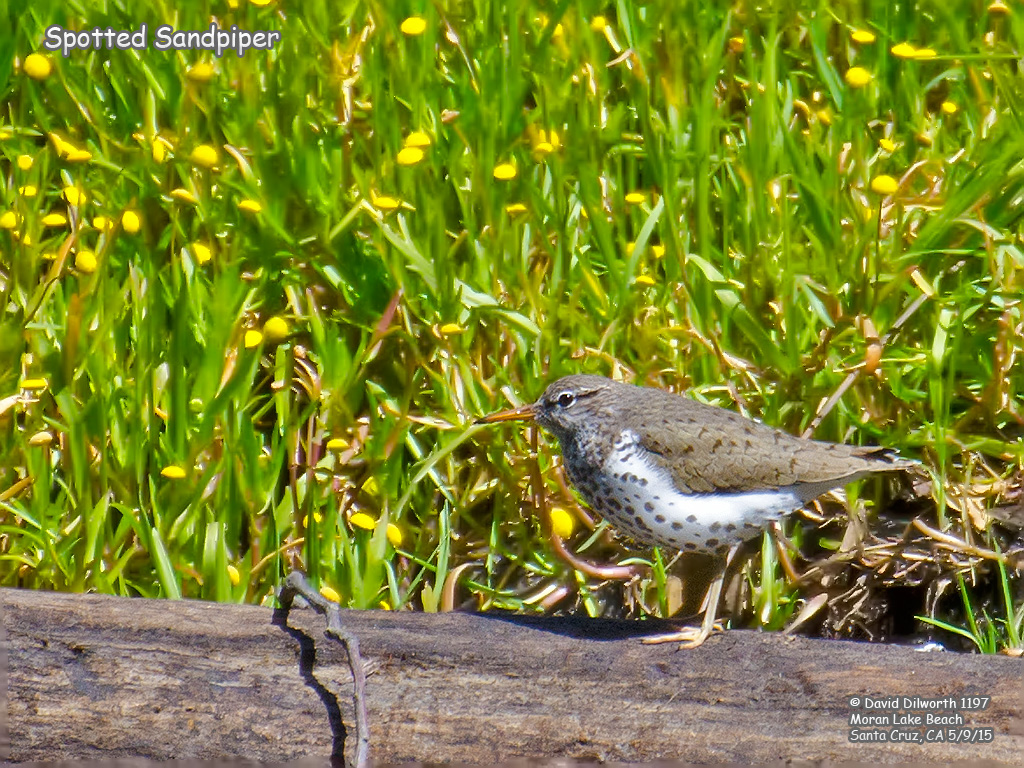 1197 Spotted Sandpiper