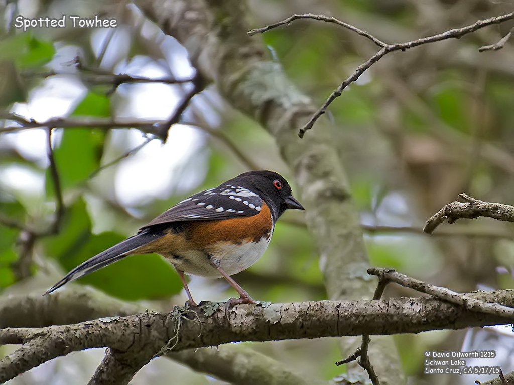 1215 Spotted Towhee