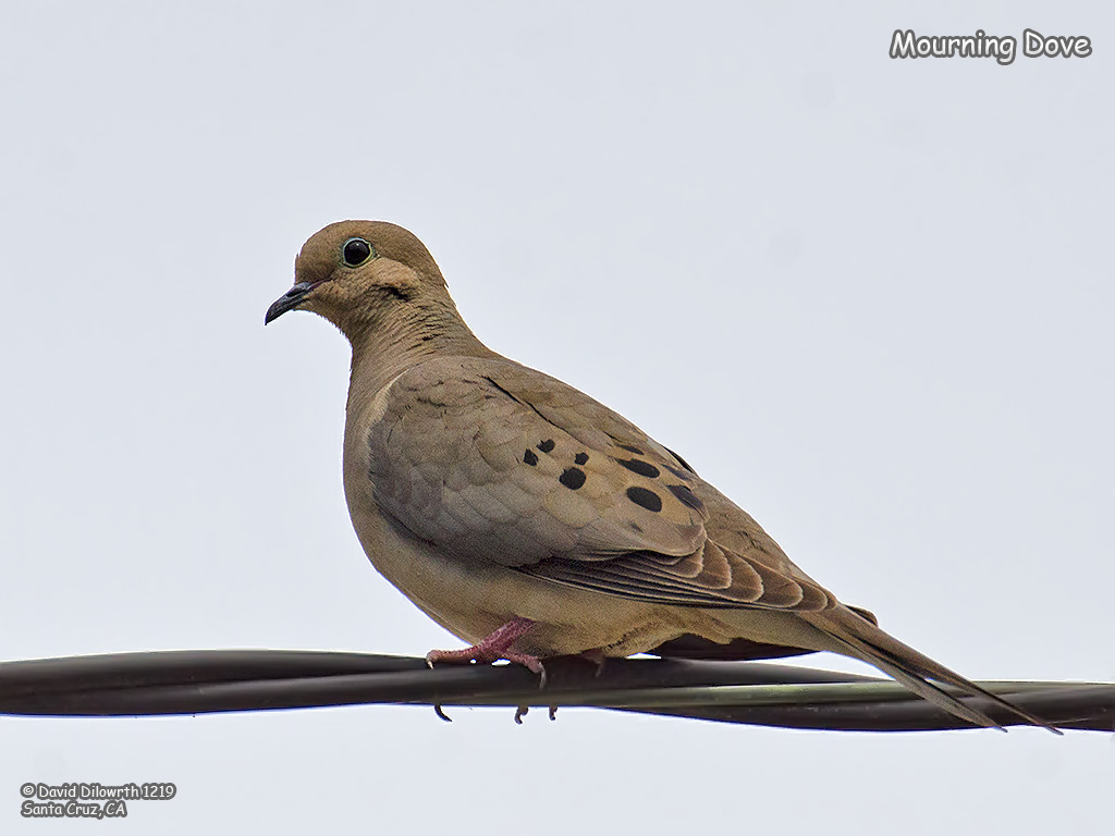 1219 Mourning Dove