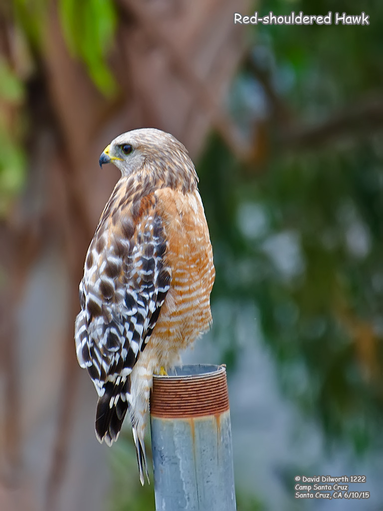 1222 Red-shouldered Hawk
