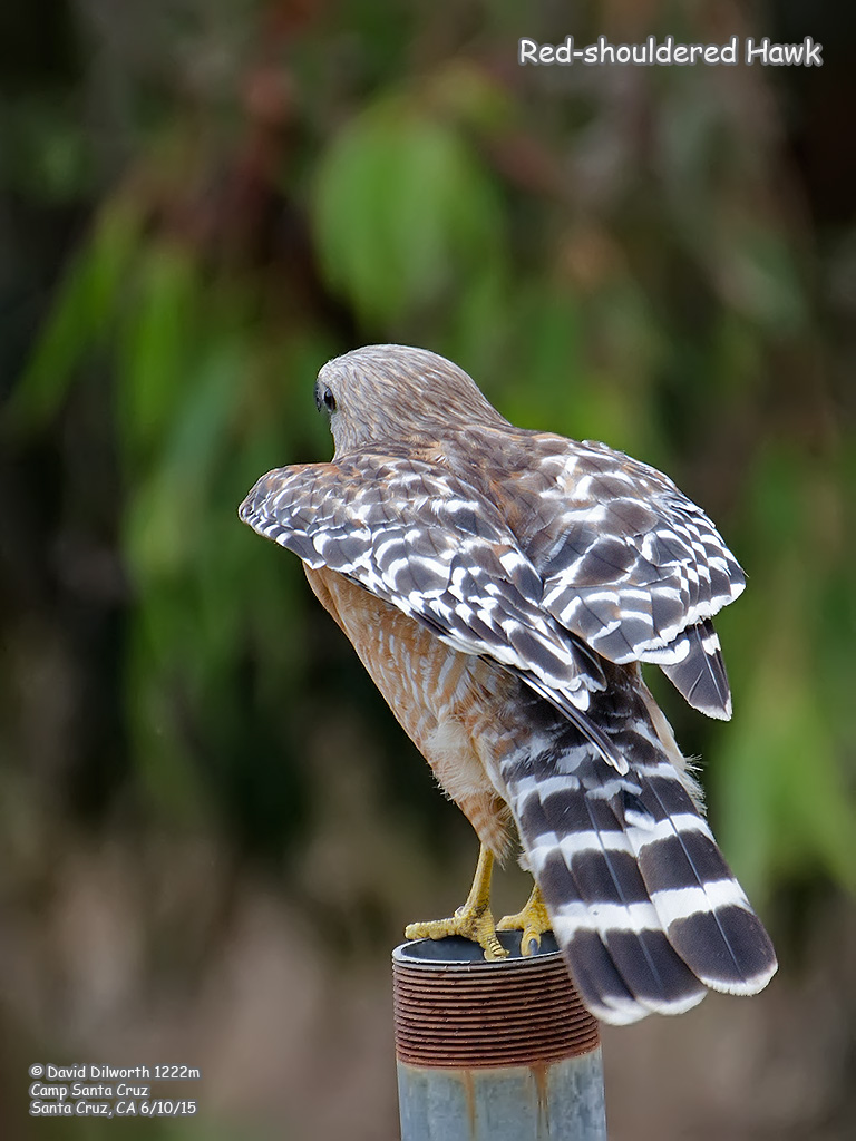 1222m Red-shouldered Hawk