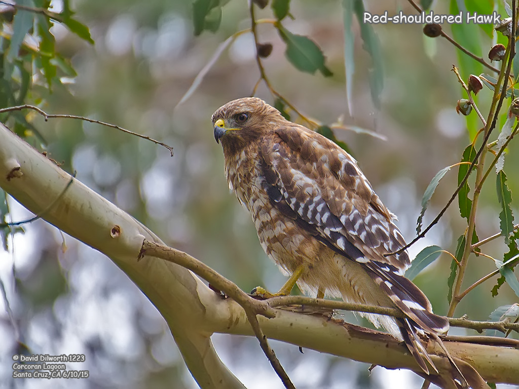 1223 Red-shouldered Hawk