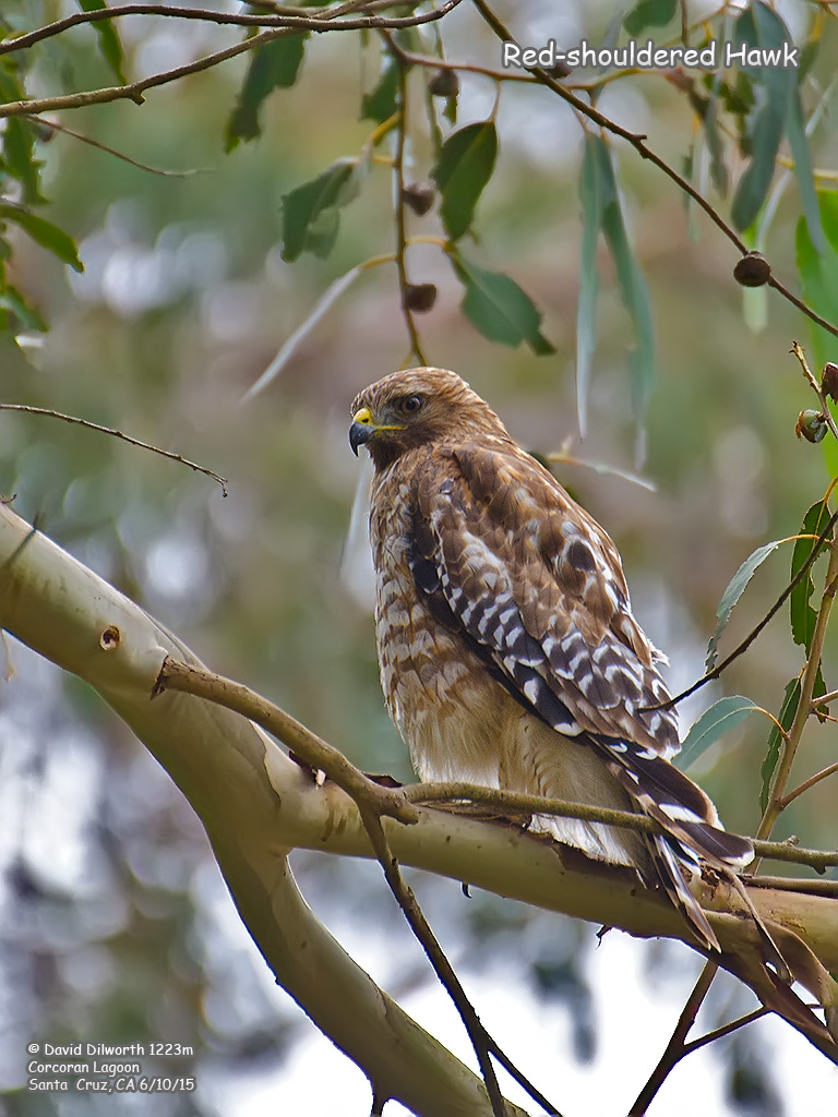 1223m Red-shouldered Hawk