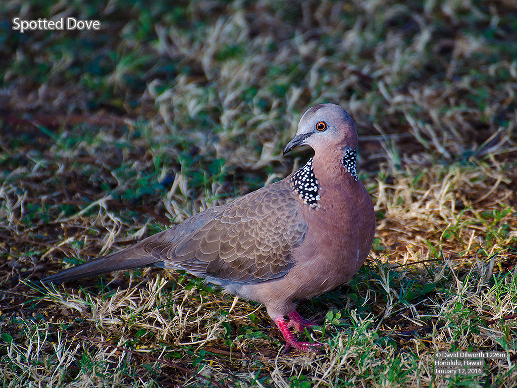 1226m Spotted Dove