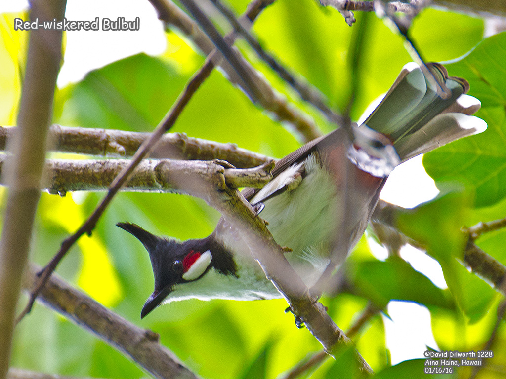 1228 Red-wiskered Bulbul