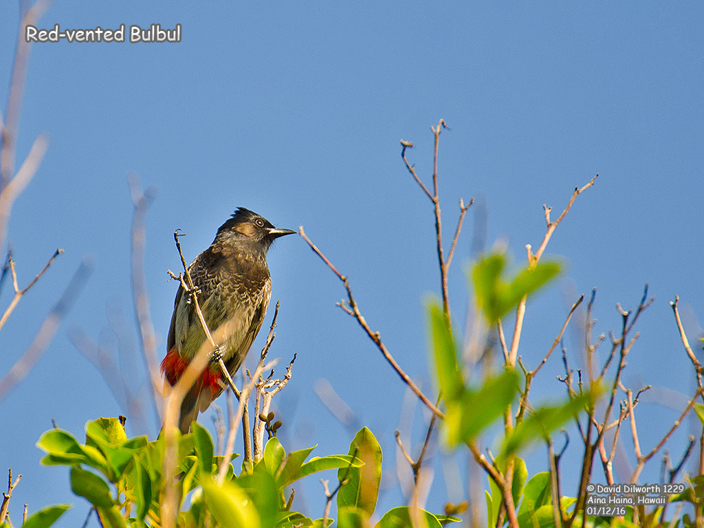 1229 Red-vented Bulbul