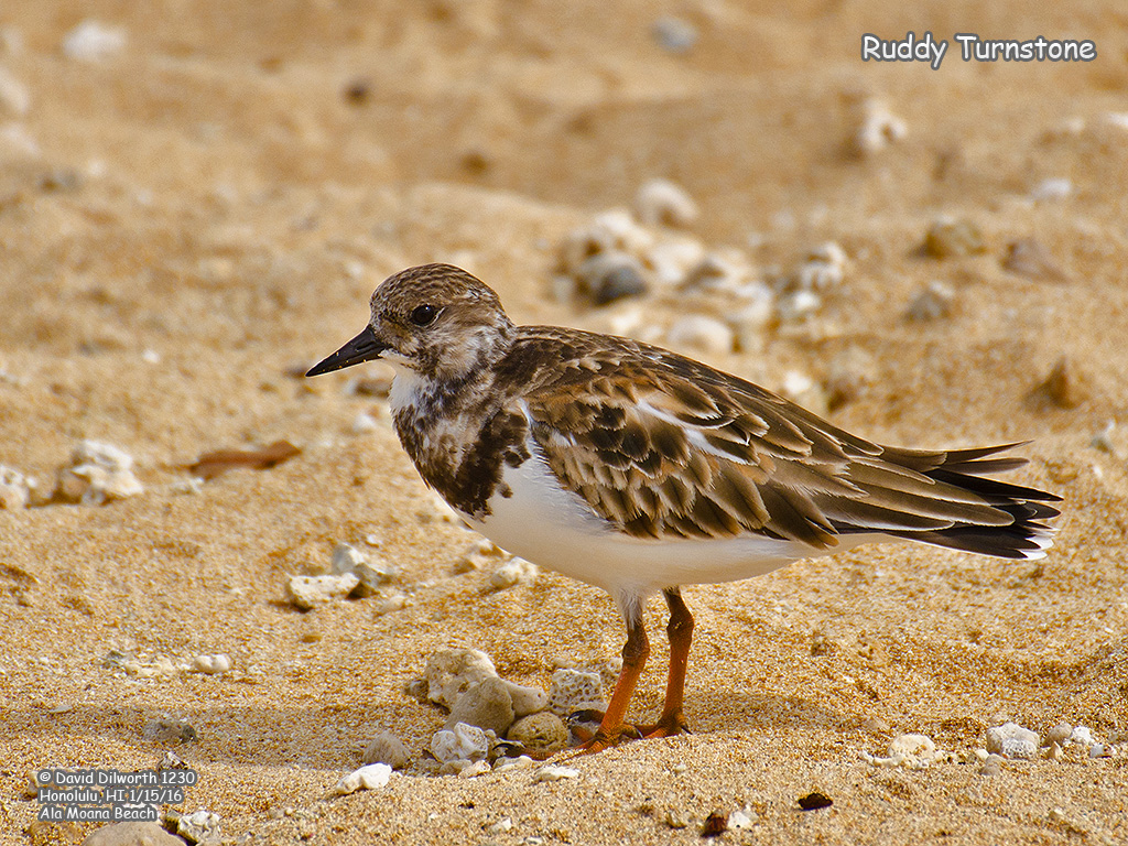 1230 Ruddy Turnstone