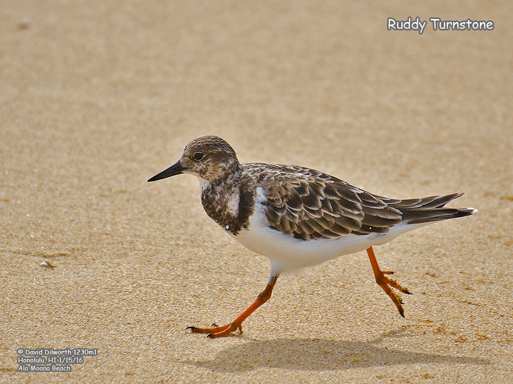 1230m1 Ruddy Turnstone