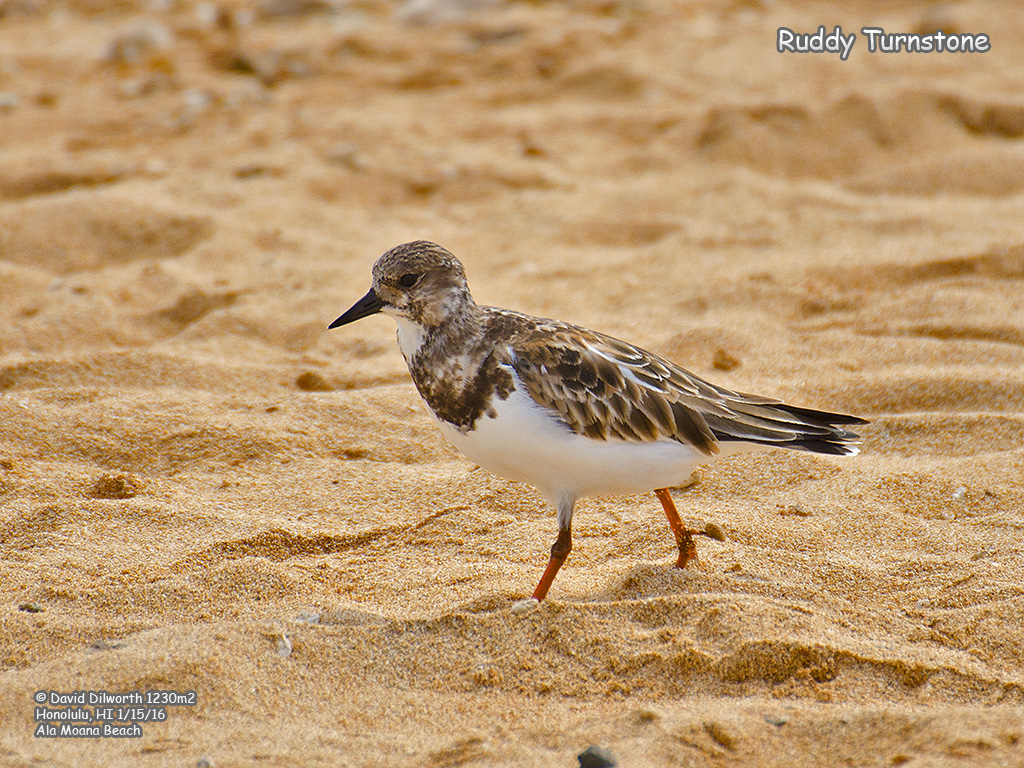 1230m2 Ruddy Turnstone