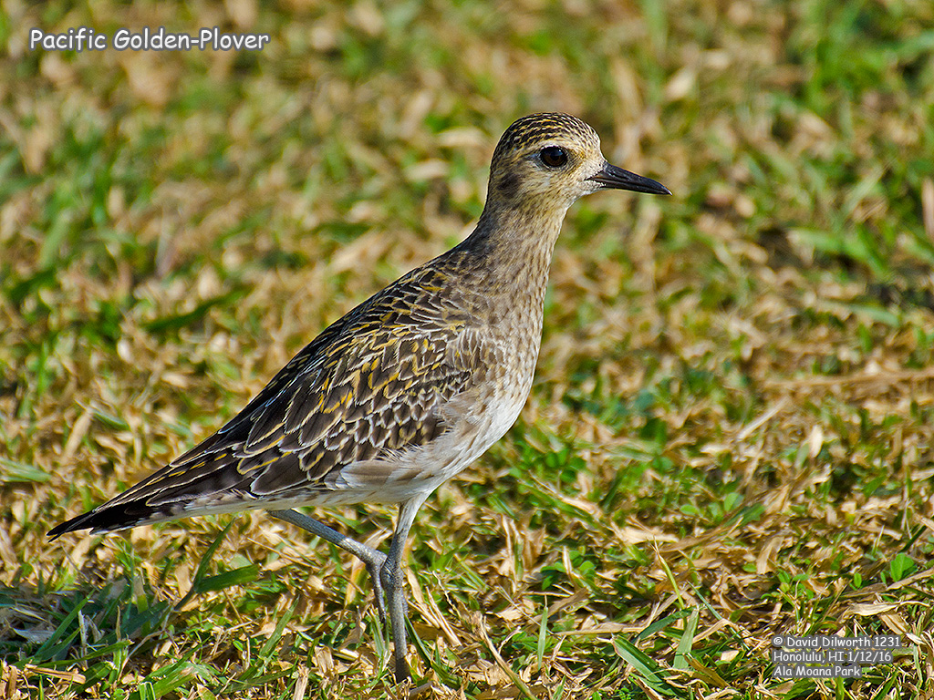 1231 Pacific Golden-Plover