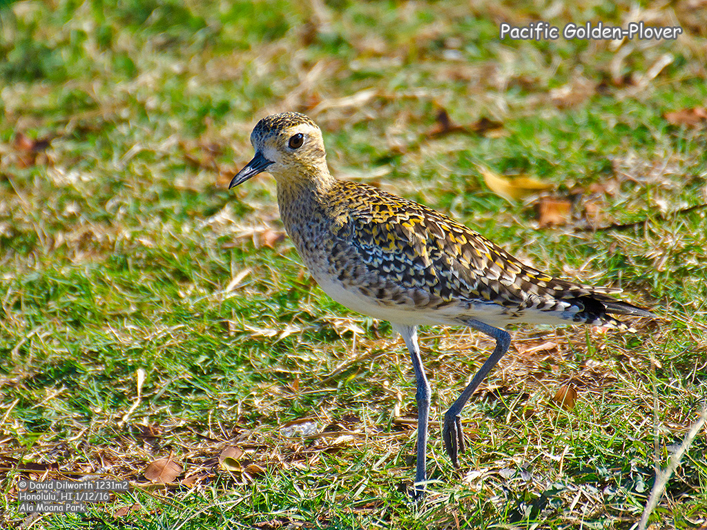 1231m2 Pacific Golden-Plover