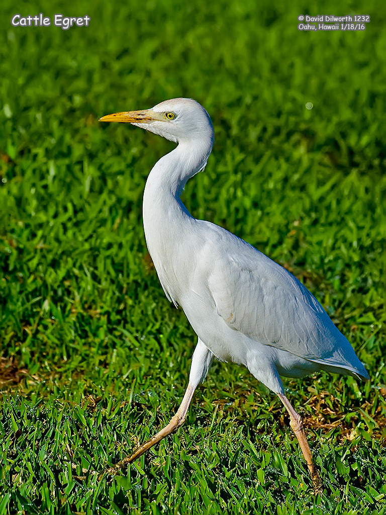 1232 Cattle Egret