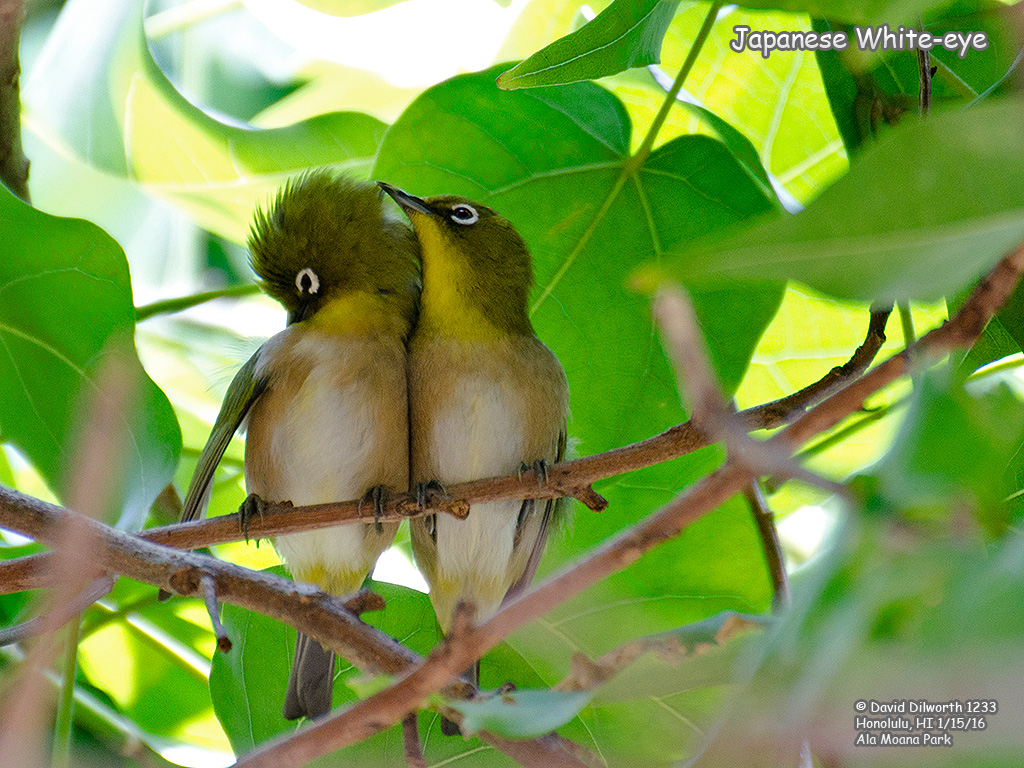 1233 Japanese White-eye