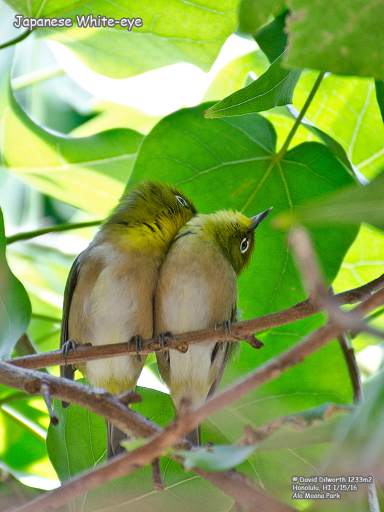 1234m2 Japanese White-eye