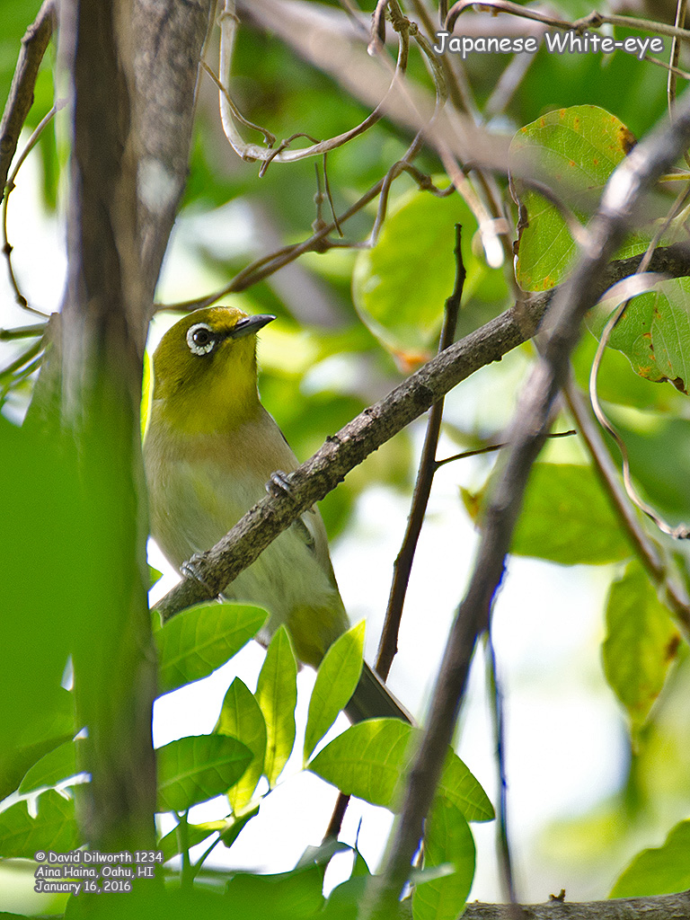 1234 Japanese White-eye