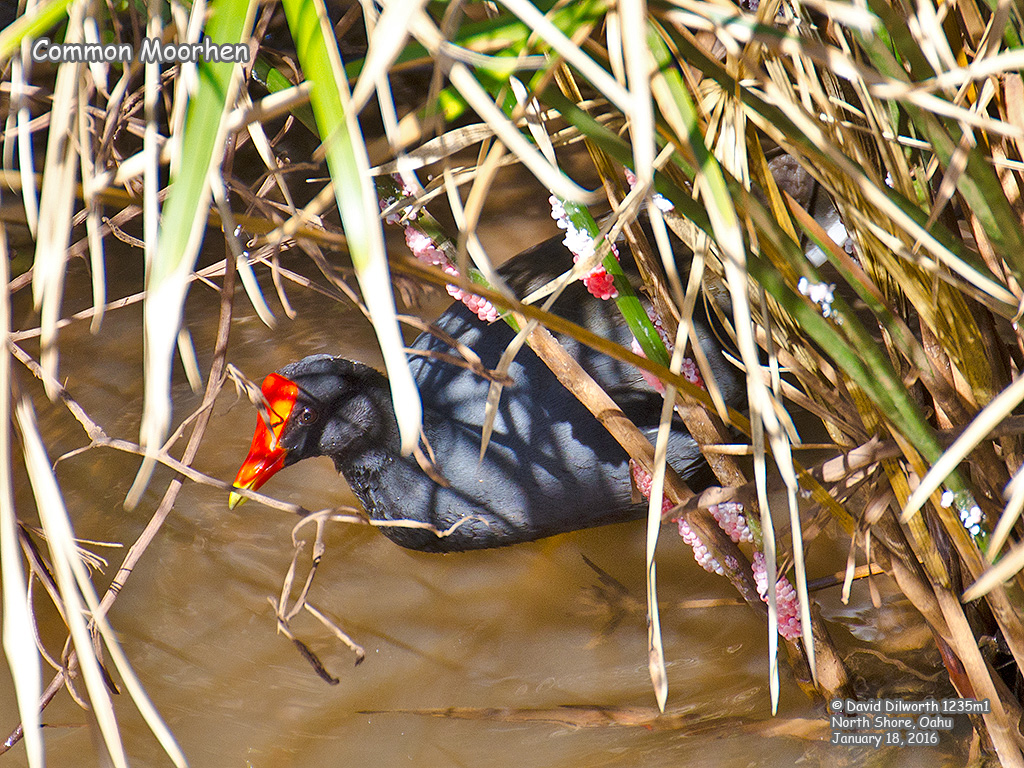 1235m1 Common Moorhen