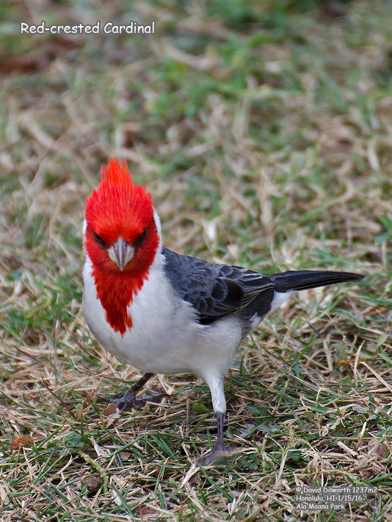 1237m2 Red-crested Cardinal