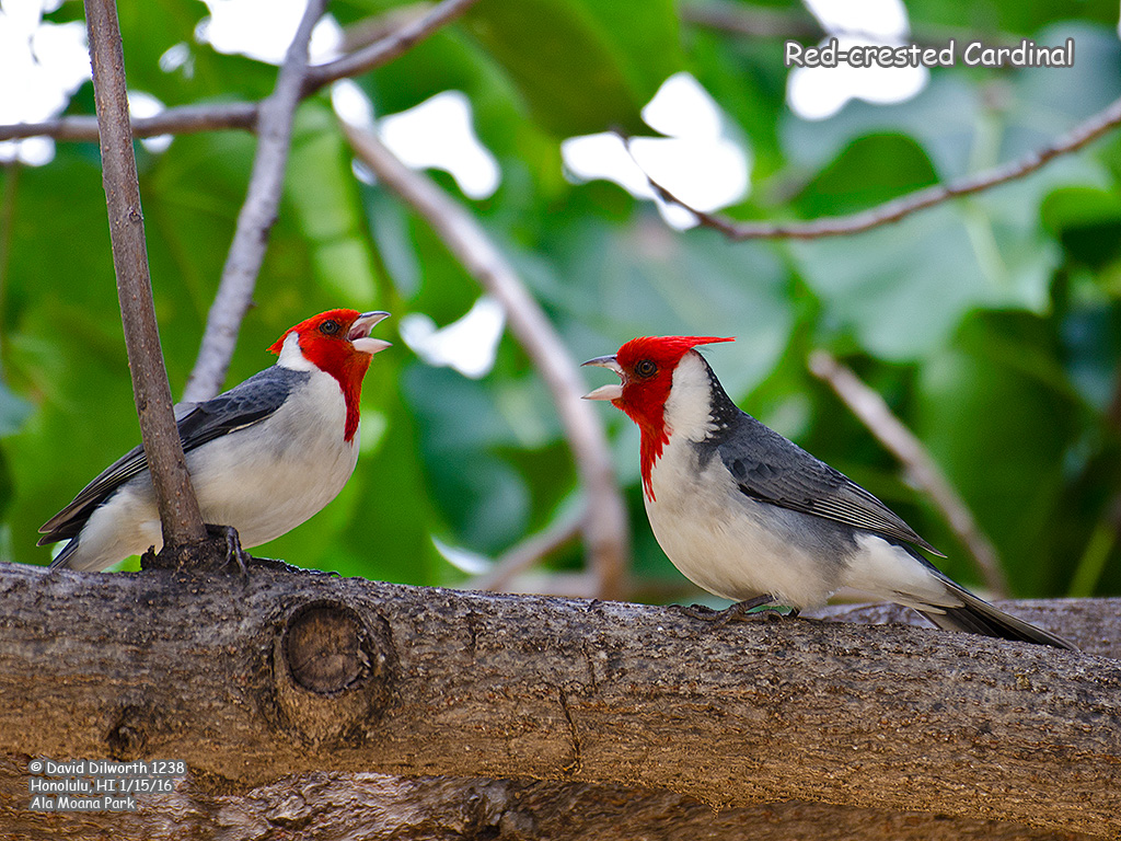 1238 Red-crested Cardinal