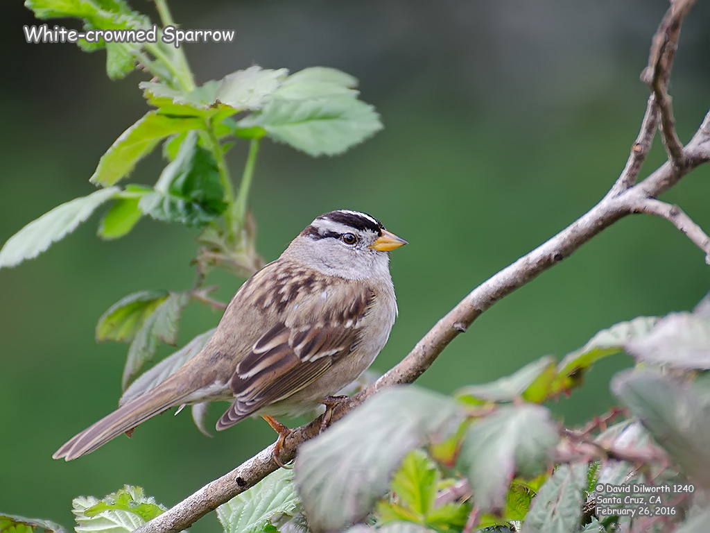 1240 White-crowned Sparrow
