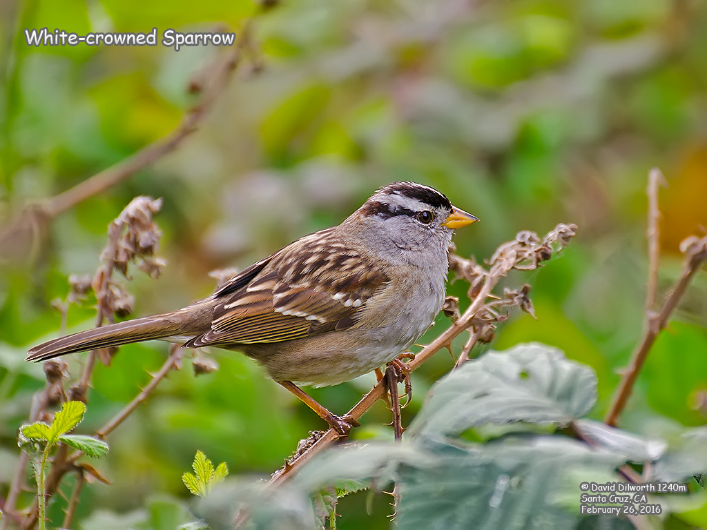 1240m White-crowned Sparrow