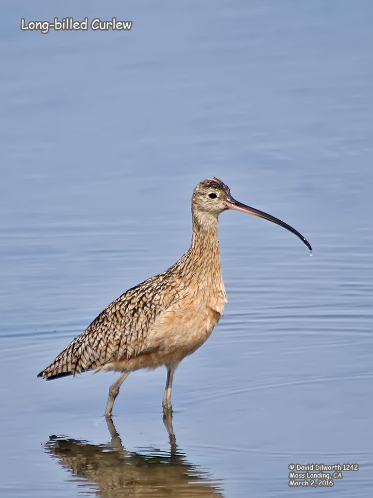 1242 Long-billed Curlew
