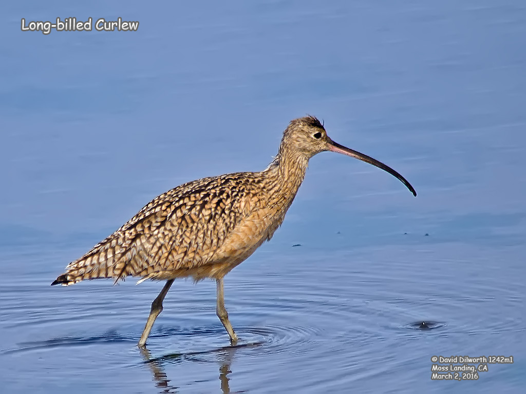 1242m1 Long-billed Curlew