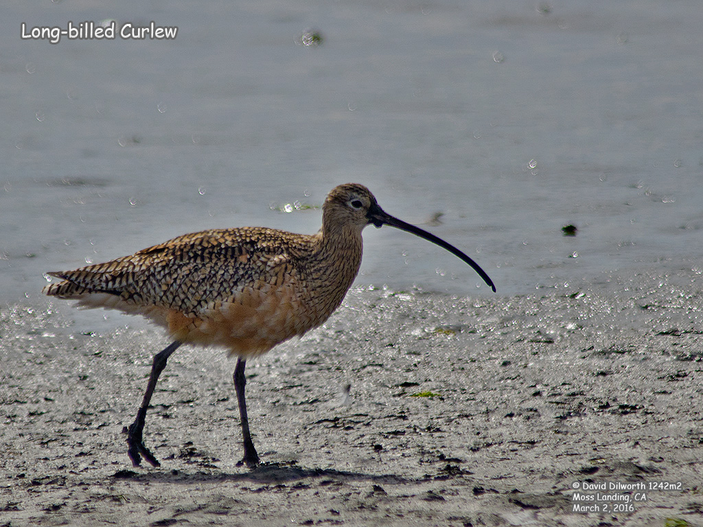 1242m2 Long-billed Curlew