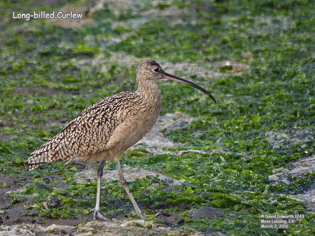 1243 Long-billed Curlew