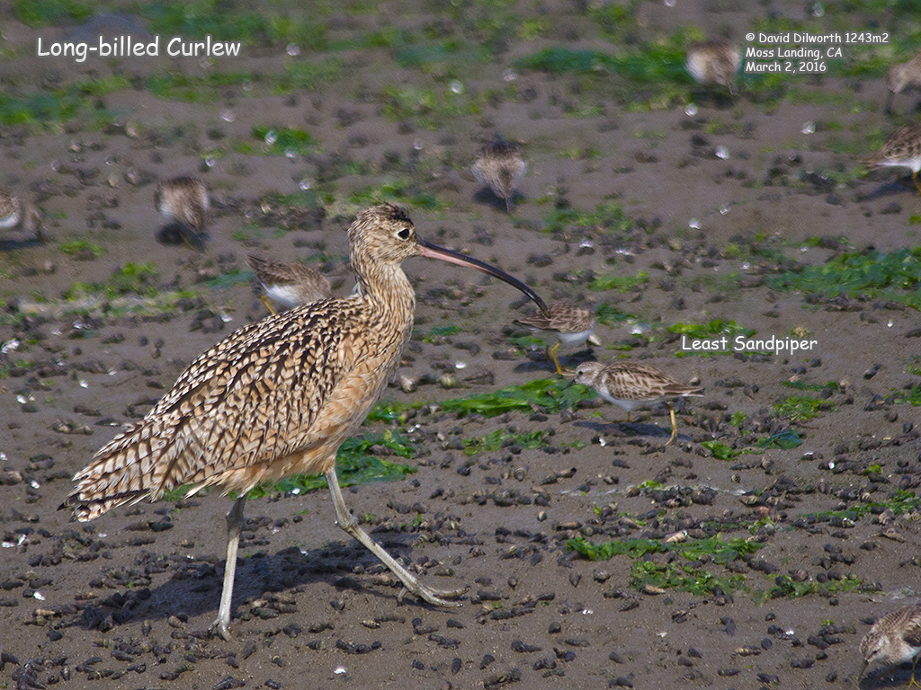 1243m2 Long-billed Curlew
