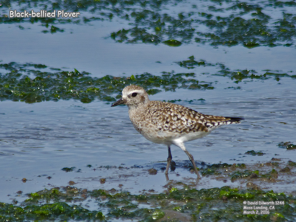 1244 Black-bellied Plover