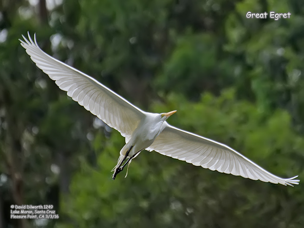 1249 Great Egret