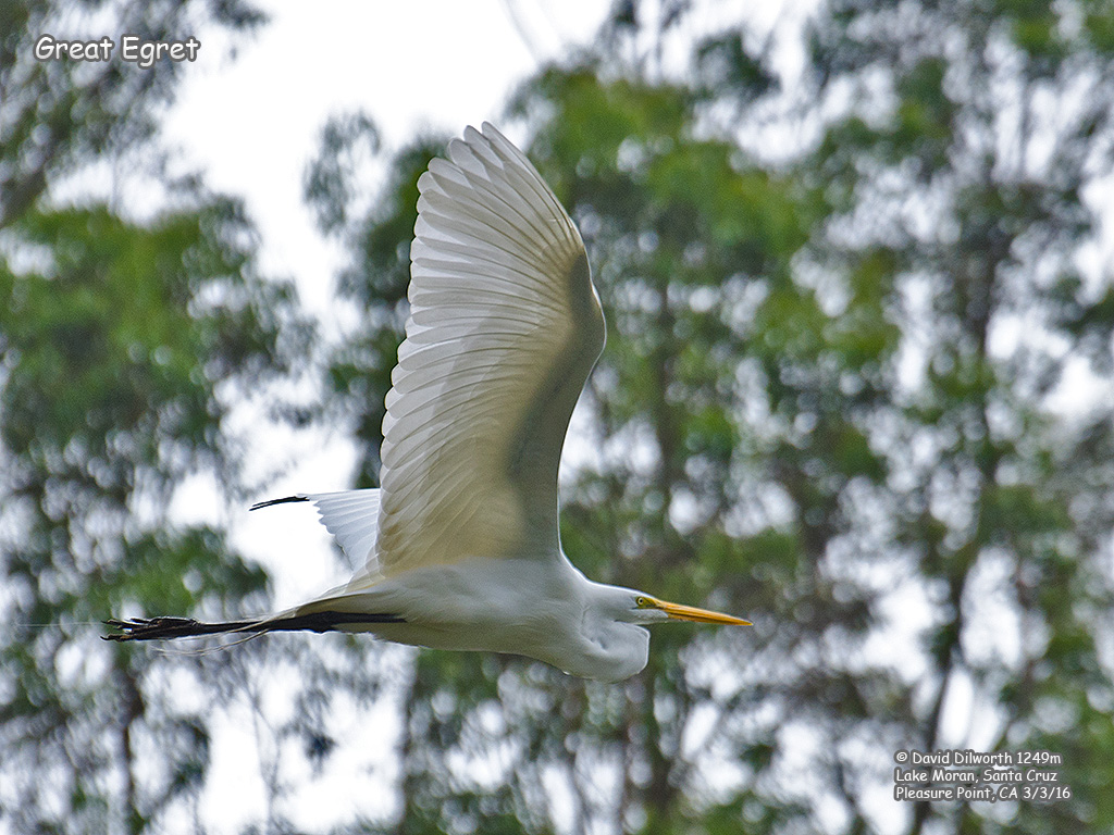 1249m Great Egret