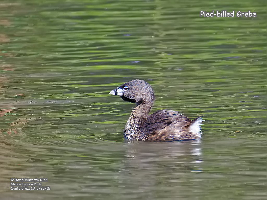 1254 Pied-billed Grebe