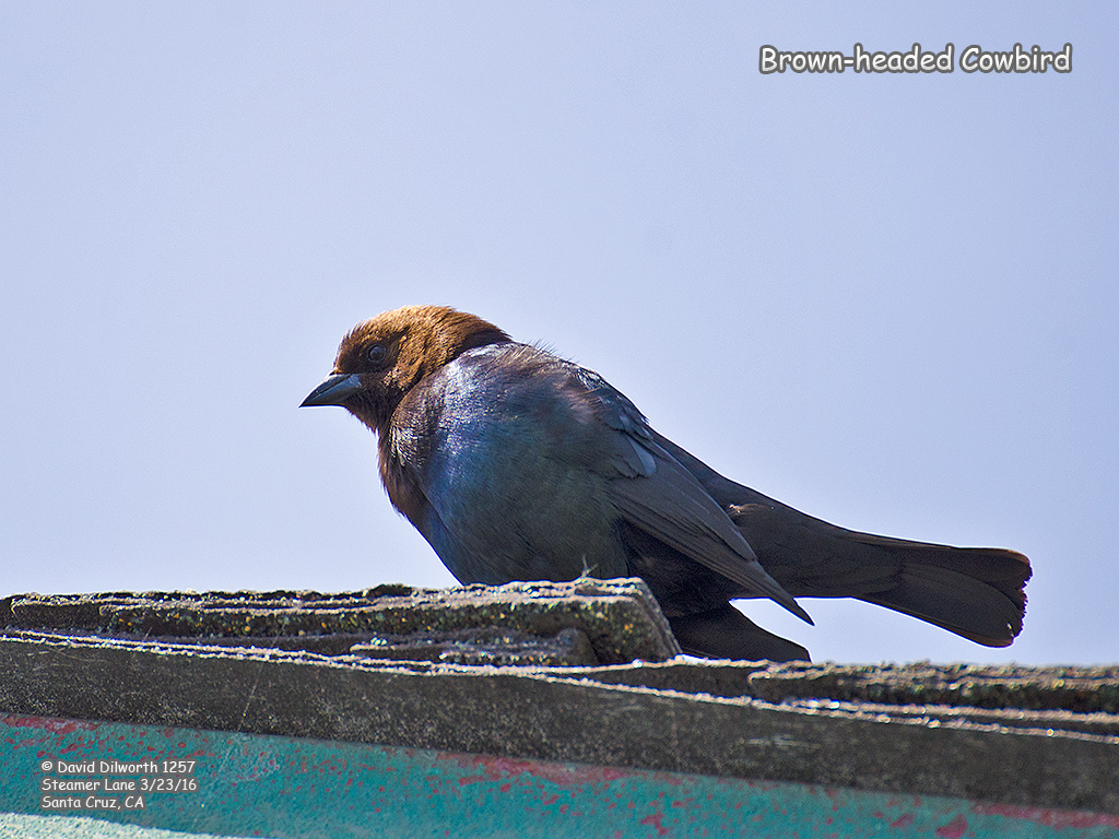 1257 Brown-headed Cowbird